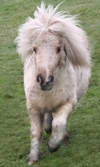 Foxy, shetland pony