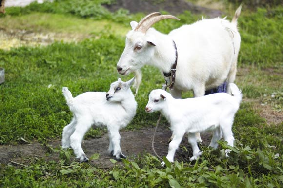 On Dairy: why choose goats milk?